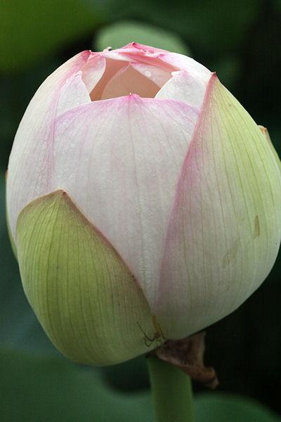 lotus-flower3.jpg