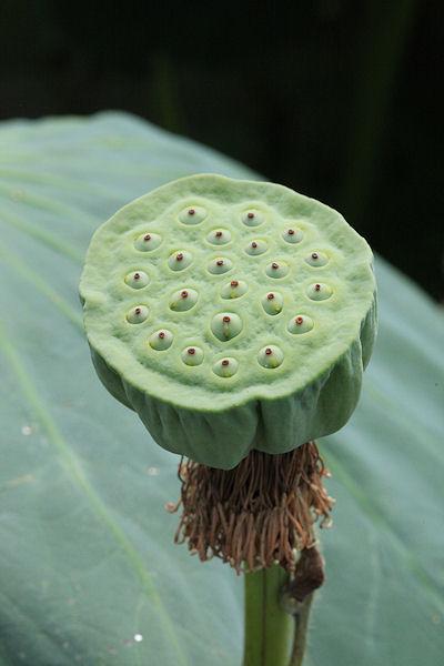 lotus-flower7.jpg