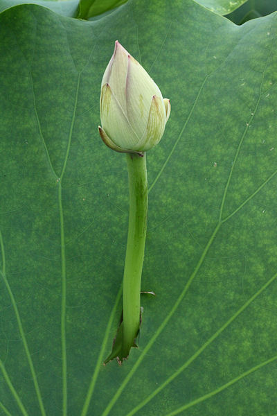 lotus-flower11.jpg