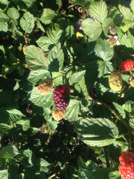 berries-tart3.jpg