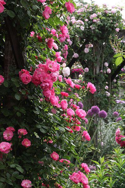 2015fujisawa-rose-garden8.jpg