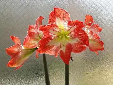 アマリリス ミネルバが開花中 0002
