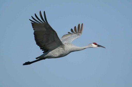 80sandhill-crane-bird