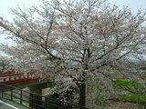 お花見ライブ&桜