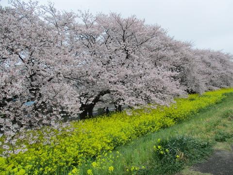 100熊谷桜堤6