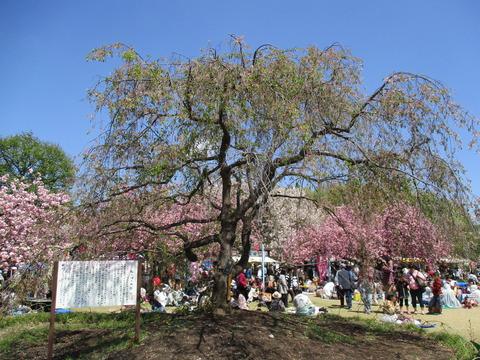 68滝桜1