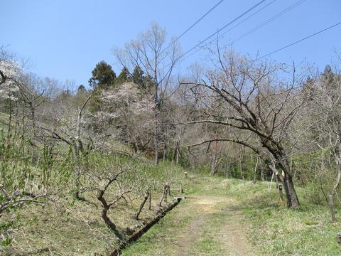 130通り抜けの桜3
