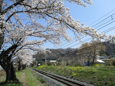 109桜の小道4