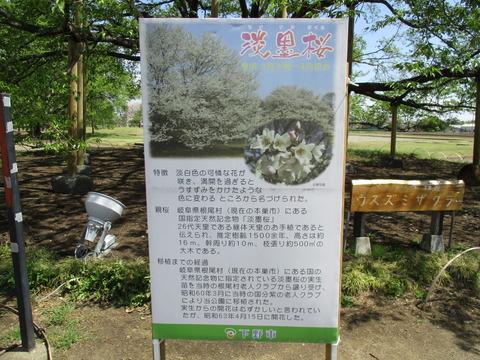 55淡墨桜2