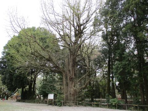 204祇園城跡の大銀杏3