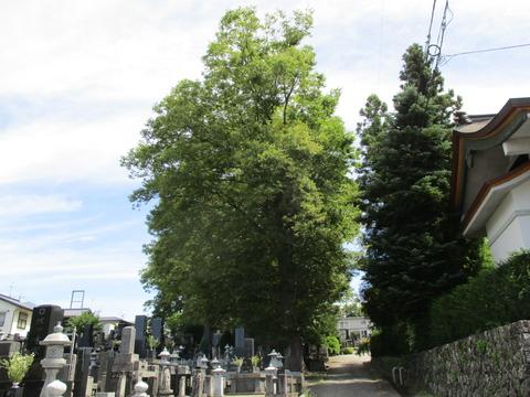 104ケヤキの大木