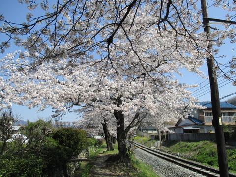 108桜の小道3