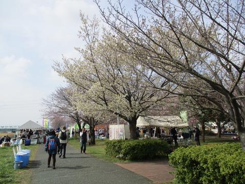 10小松川千本桜5