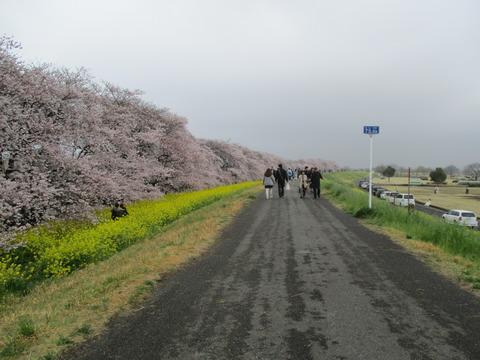 104熊谷桜堤10