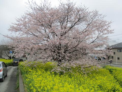 112熊谷桜堤18