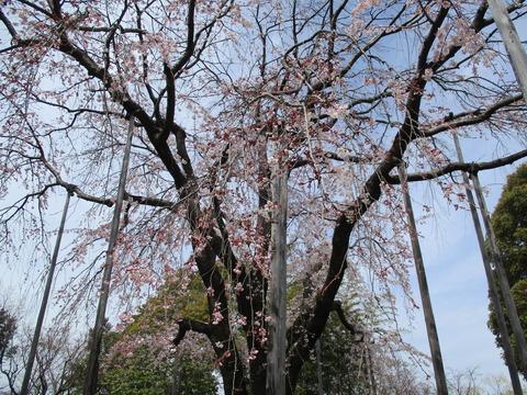 64しだれ桜4