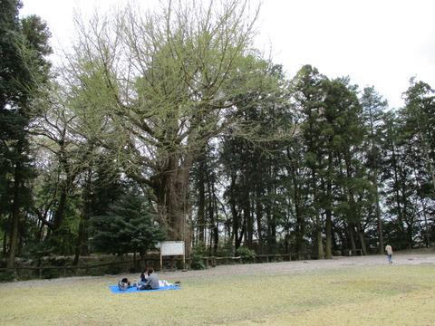 203祇園城跡の大銀杏2