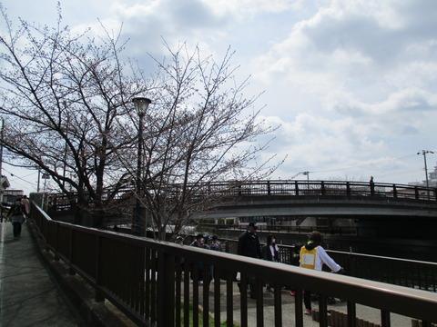 35新川千本桜8