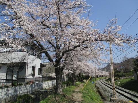 107桜の小道2