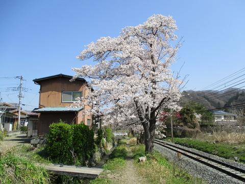 110桜の小道5