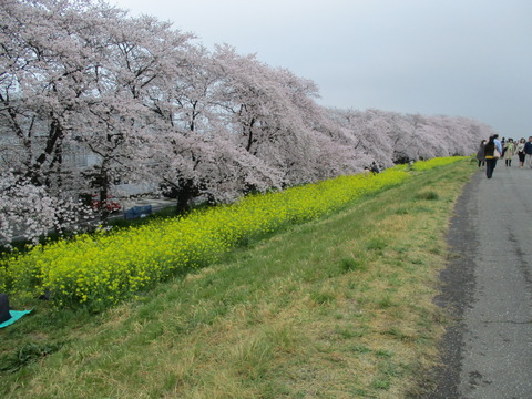 107熊谷桜堤13