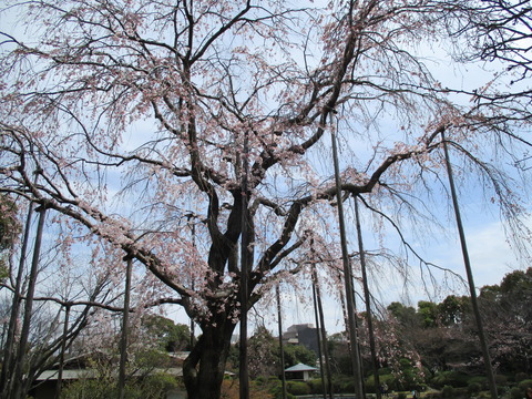 62しだれ桜2