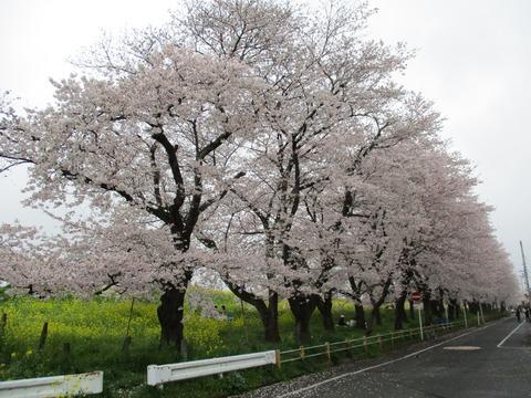 118熊谷桜堤24