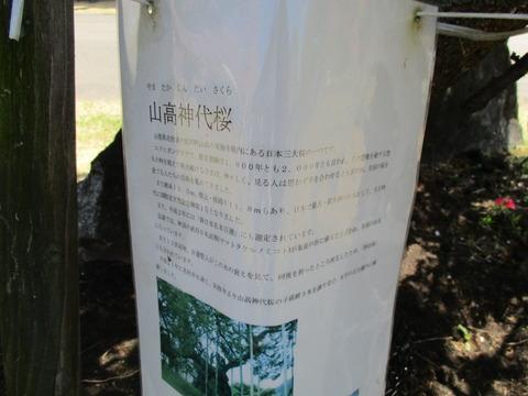 72山高神代桜3