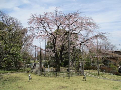 61しだれ桜1