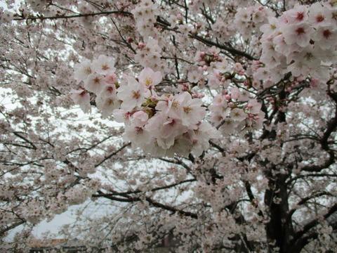 113熊谷桜堤19