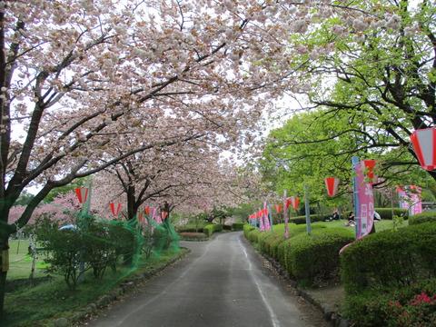 143改めて桜1