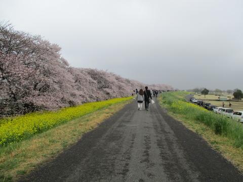 105熊谷桜堤11
