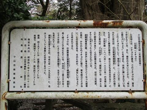 205祇園城跡の大銀杏4