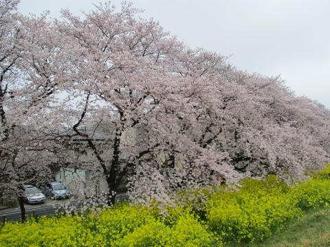 101熊谷桜堤7