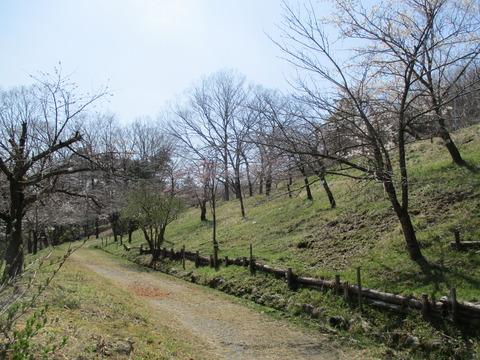 131通り抜けの桜4