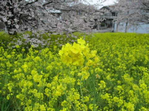 116熊谷桜堤22