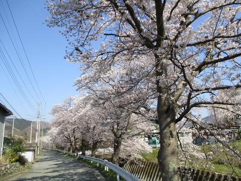 66井戸の桜並木2