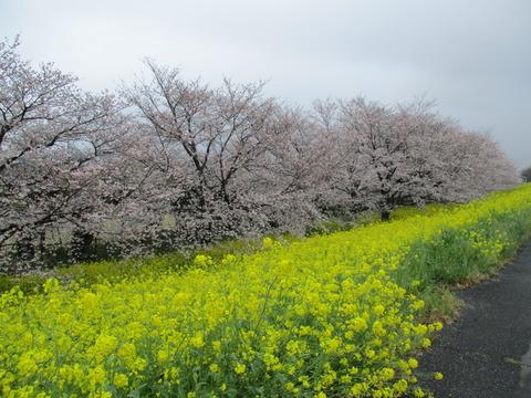 109熊谷桜堤15