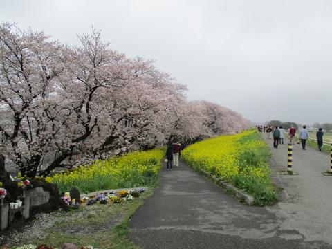 98熊谷桜堤4