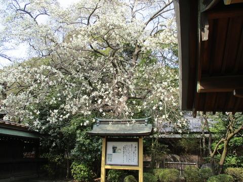 199コブシの花
