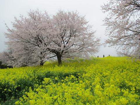 117熊谷桜堤23