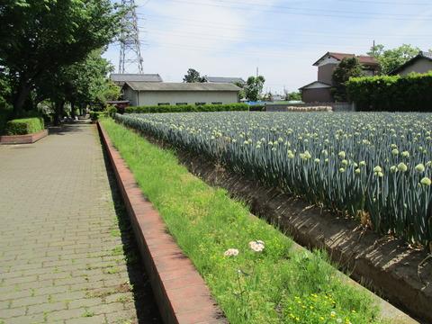 87ネギ畑