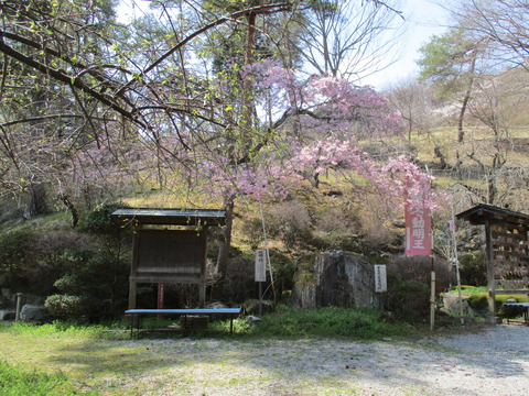 121醍醐の桜1