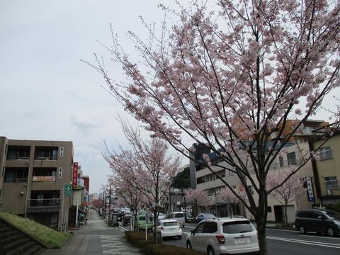 186祇園城通りの桜