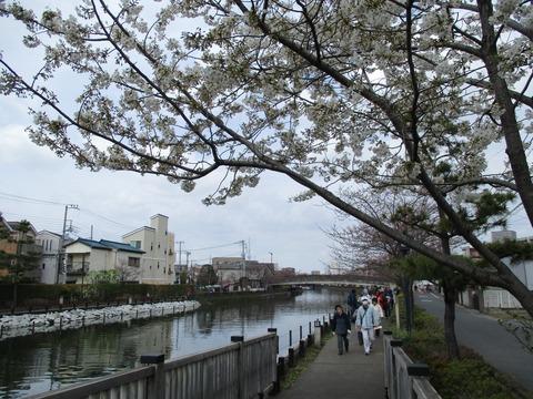 42新川千本桜15