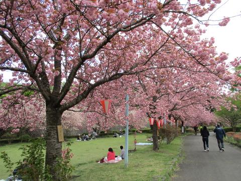 144改めて桜2