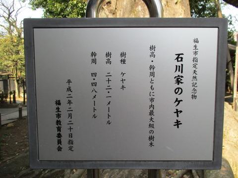206石川家のケヤキ1