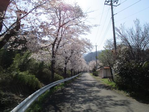 65井戸の桜並木1