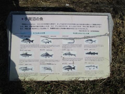 107手賀沼の魚