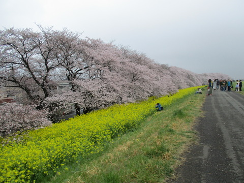 106熊谷桜堤12
